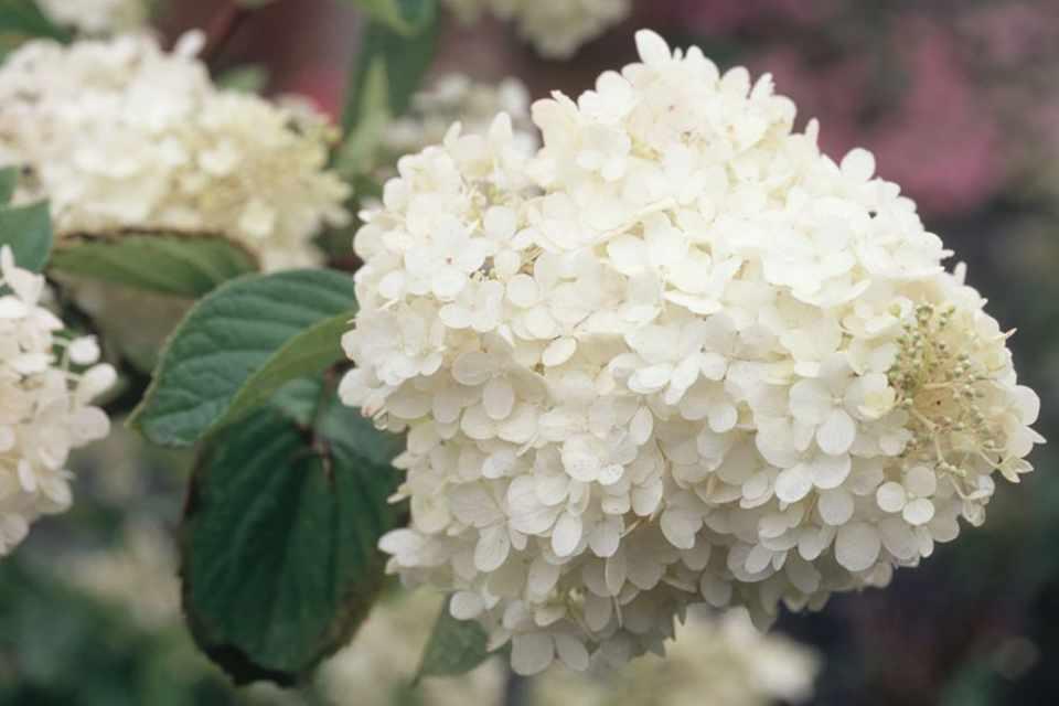 Hydrangea paniculata 'Burgundy Lace'