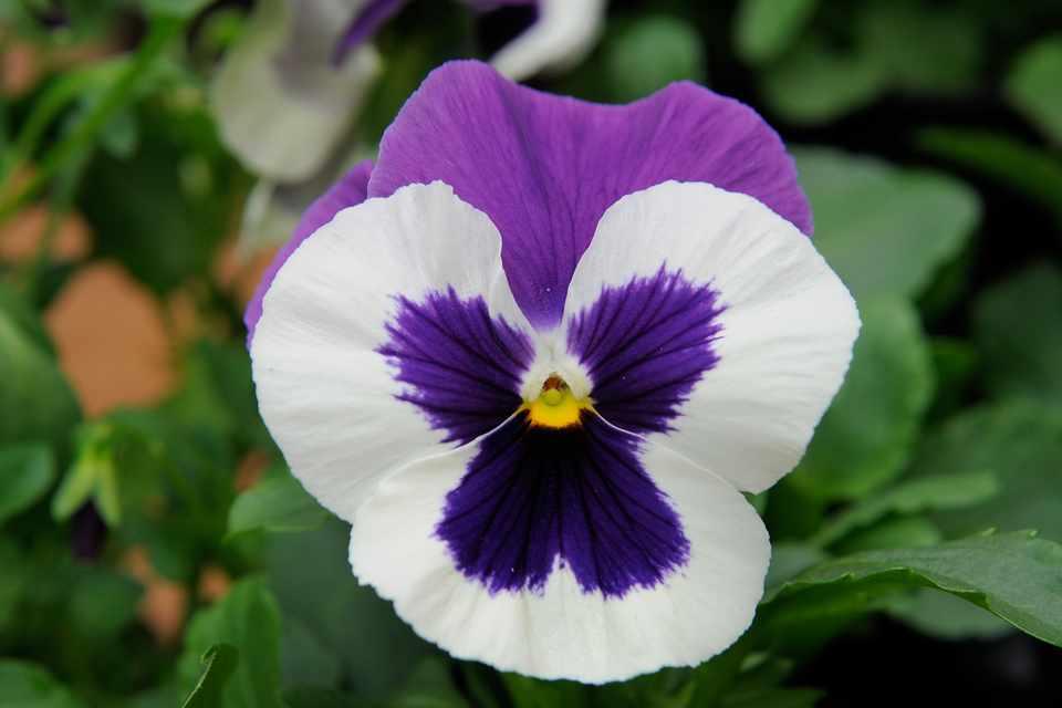Viola x wittrockiana 'Mariposa Violet Face'