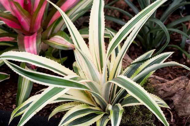 Ananas comosus 'Variegatus'