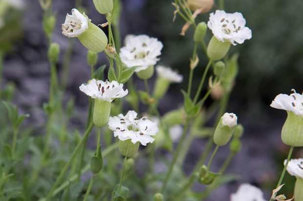Silene uniflora 'Alba'