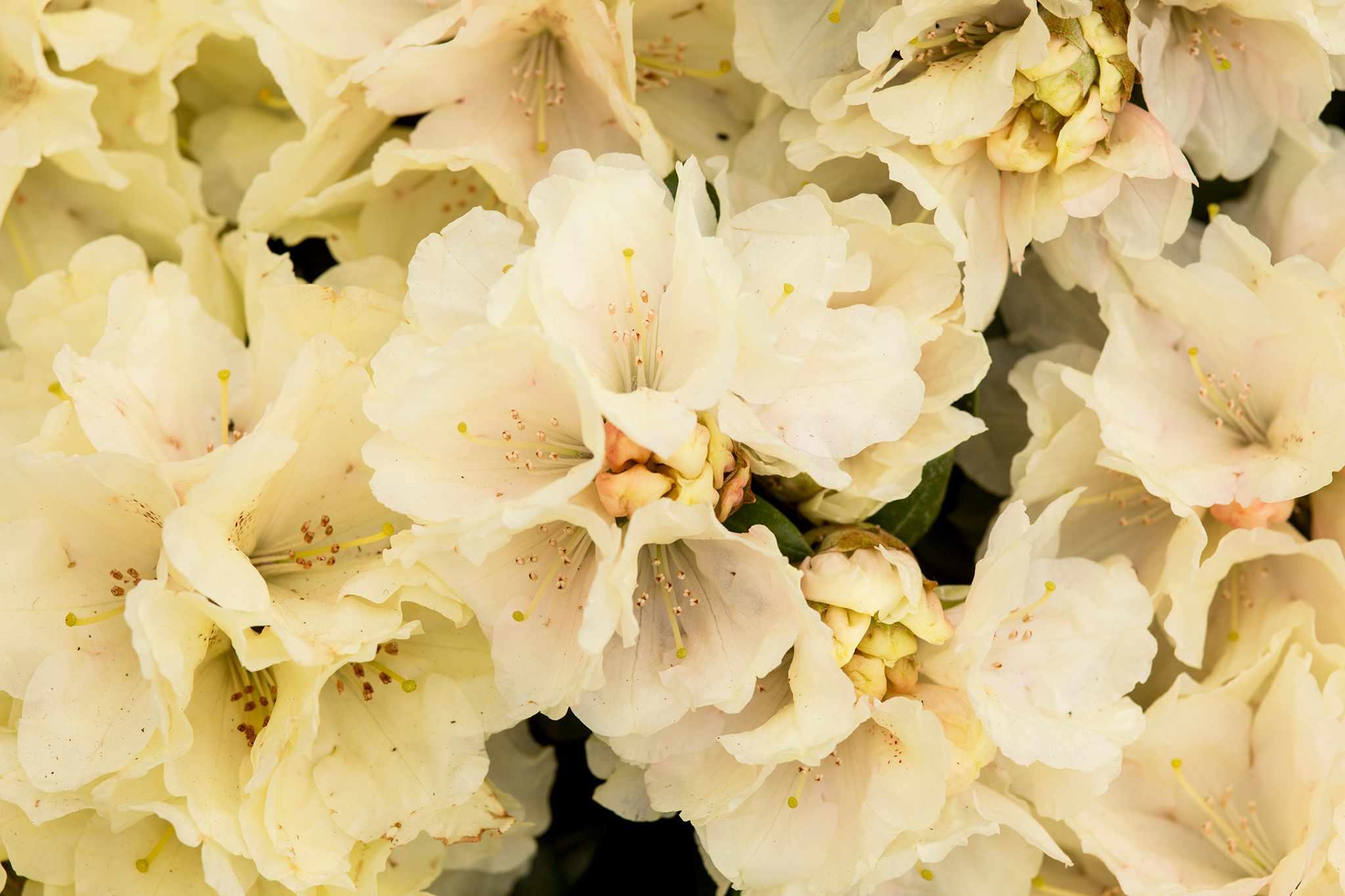Rhododendron 'Millennium Gold'