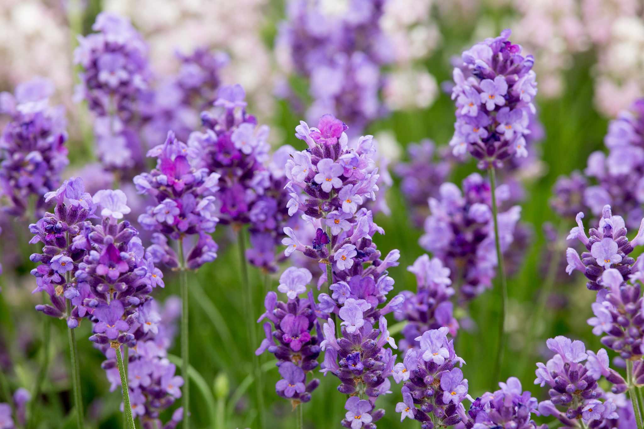 Lavandula angustifolia 'Purple Treasure'