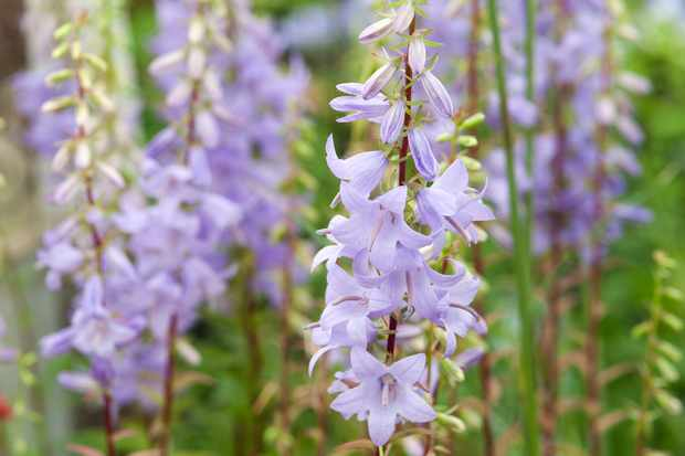 Adenophora 'Gaudi Violet'