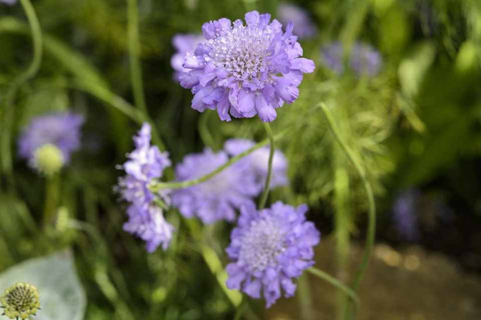 Picture of Live Pincushion Flower aka Scabiosa Blue Plant Fit 1GAL Pot