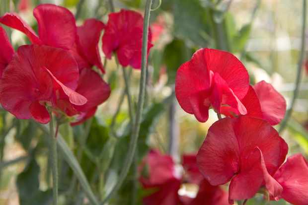 Lathyrus 'Winston Churchill'