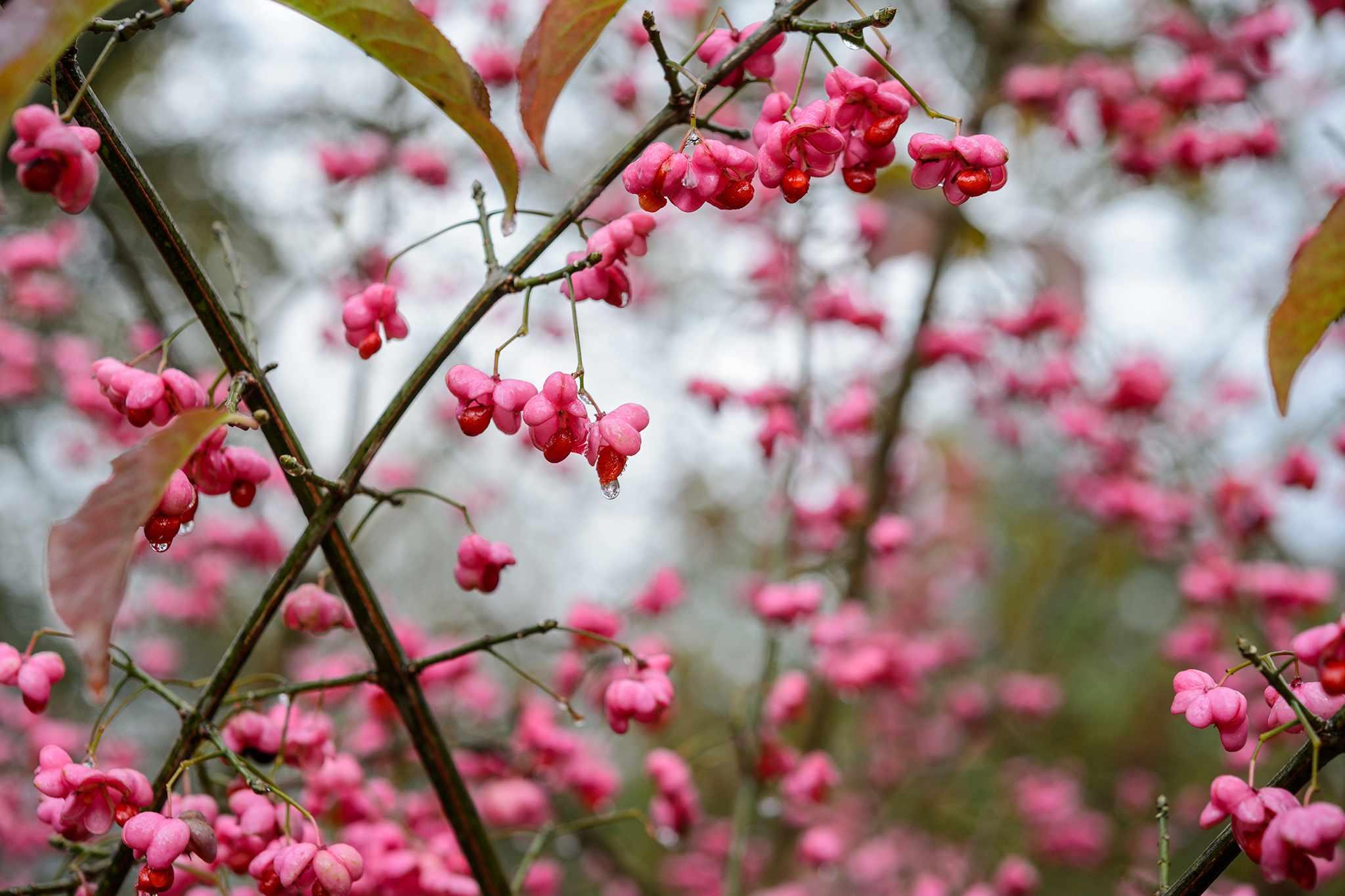 Euonymus hamiltonianus 'Pink Delight'