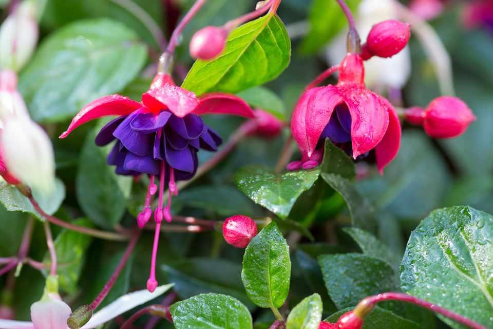 Fuchsia Dollar Princess Bbc Gardeners World Magazine