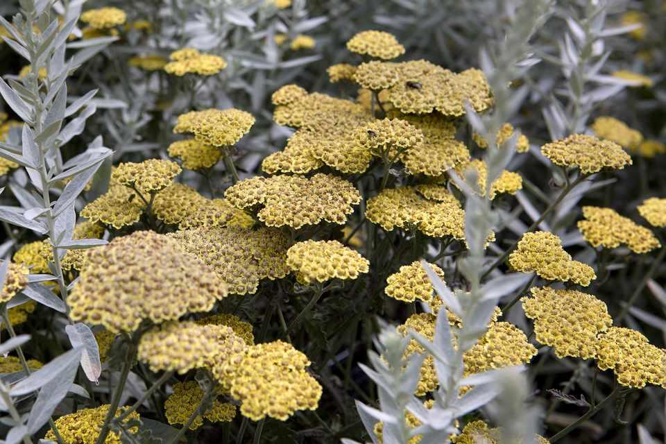 Artemisia ludoviciana 'Silver Queen' - BBC Gardeners' World Magazine