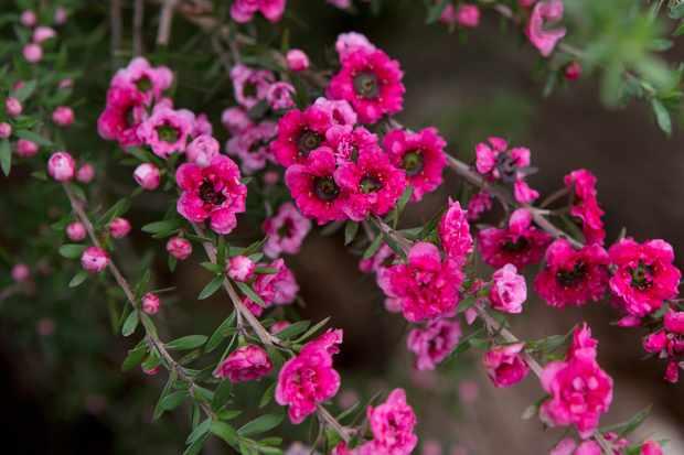 Leptospermum Red Damask
