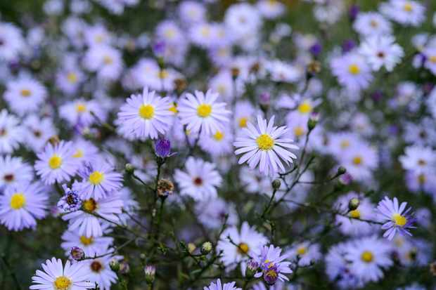 Lilac flowers of Michaelmas daisy