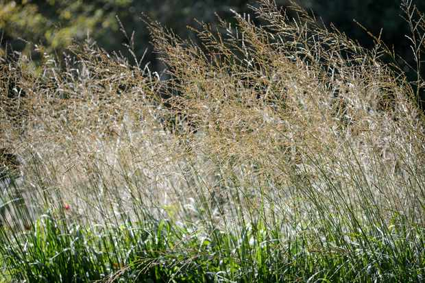 Molinia caerulea 'Windspiel'