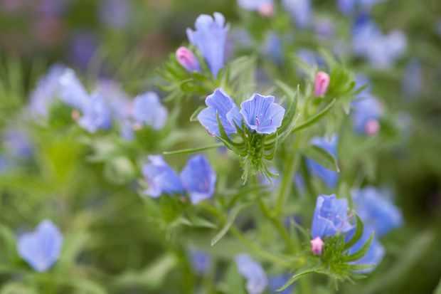 Echium 'Blue Bedder'