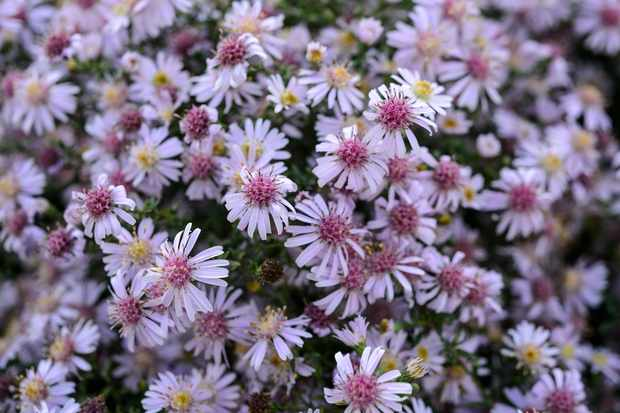 Symphyotrichum 'Coombe Fishacre'