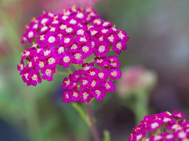 Achillea 'Cerise Queen' - BBC Gardeners' World Magazine