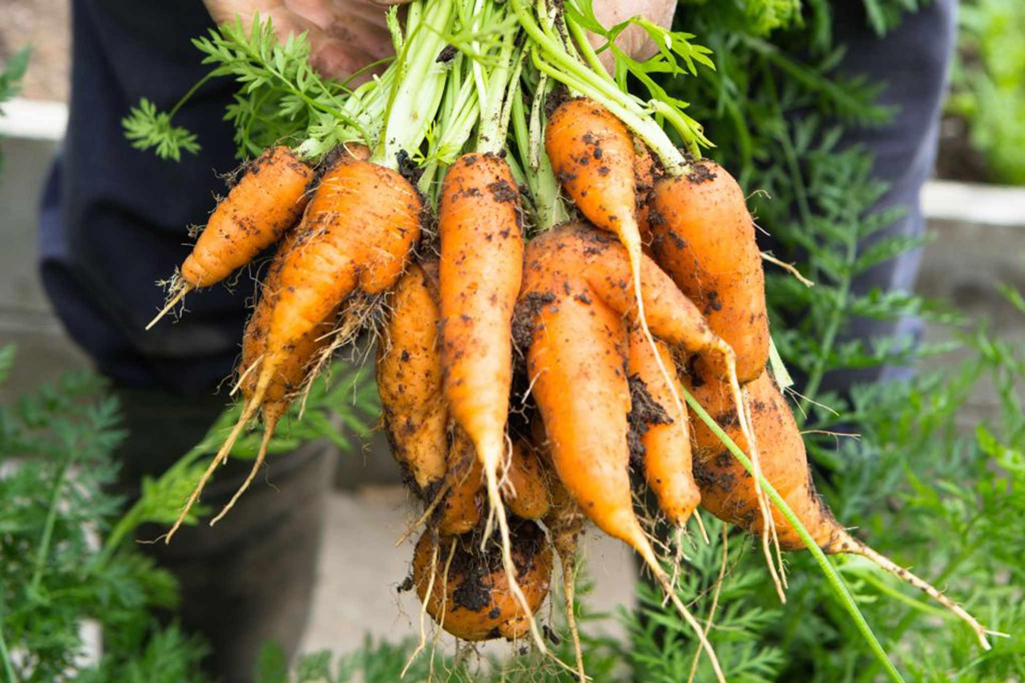 Daucus carota 'Nantes'