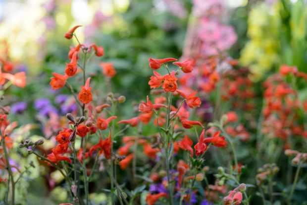 Delphinium nudicaule Redcap