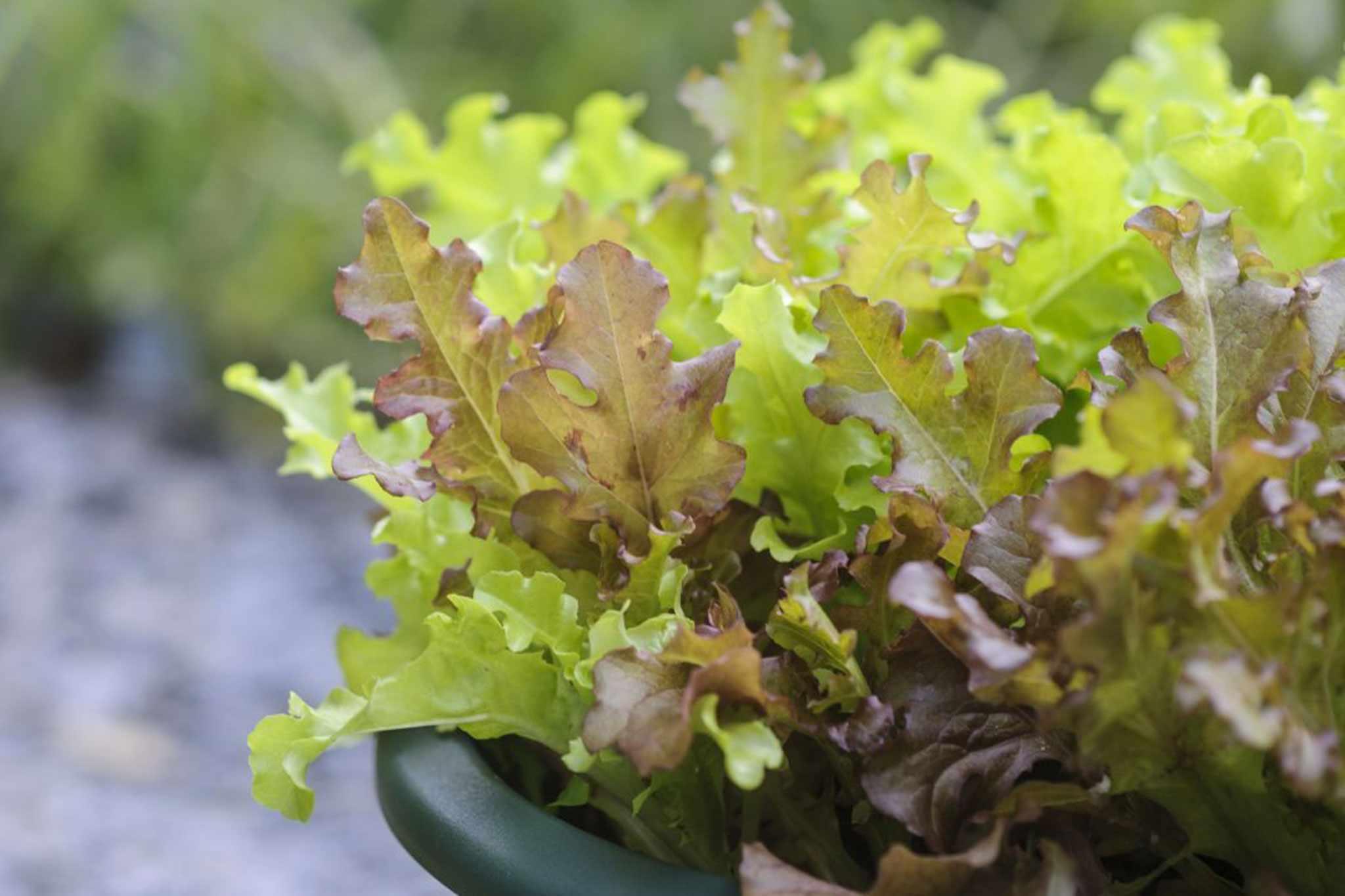 Lactuca sativa 'Salad Bowl'