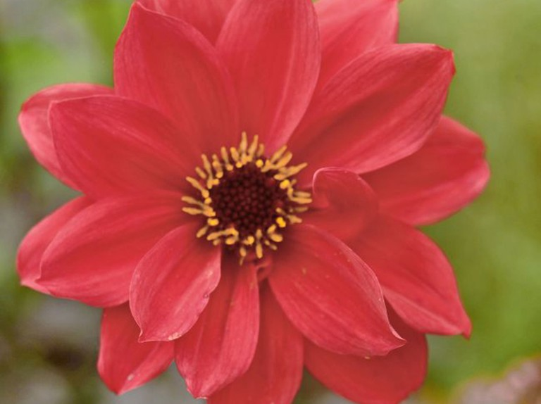 Dahlia Bishop Of Llandaff Bbc Gardeners World Magazine