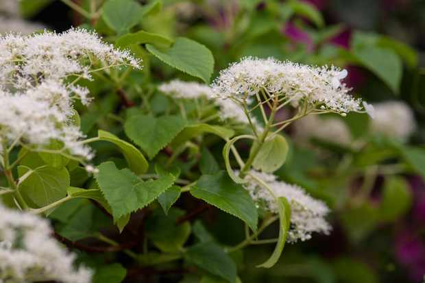 Slug-proof plants - Hydrangea anomala subsp. petiolaris