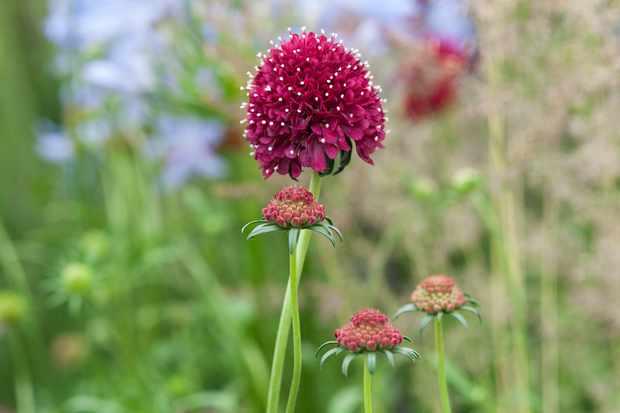 Scabiosa atropurpurea 'Burgundy Beau'