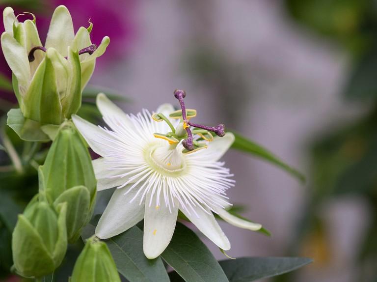 Passiflora Constance Elliot Bbc Gardeners World Magazine
