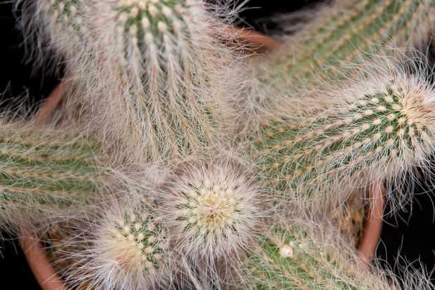 Echinocereus longisetus subsp. delaetii