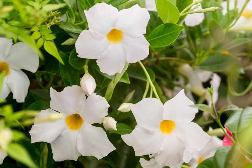 Mandevilla Diamantina Jade White Lanmichigan