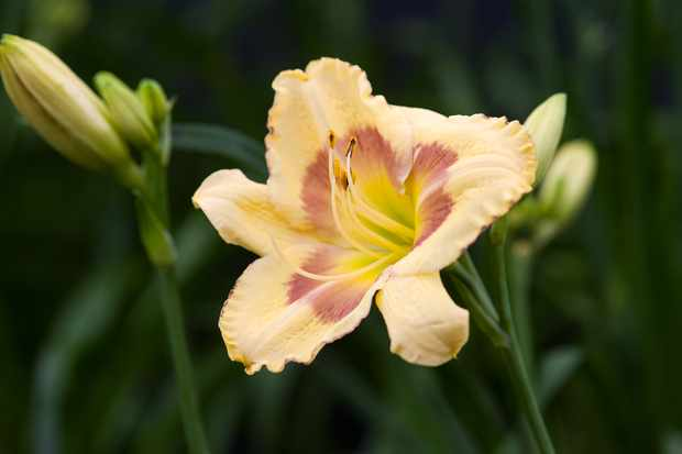 Hemerocallis 'Russian Easter'