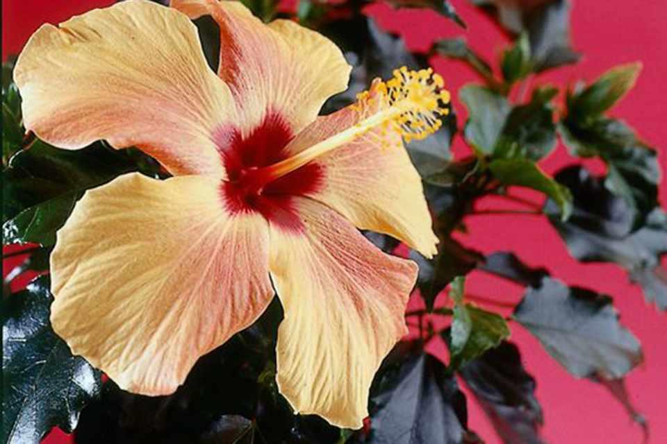 Hibiscus Rosa Sinensis Bbc Gardeners World Magazine