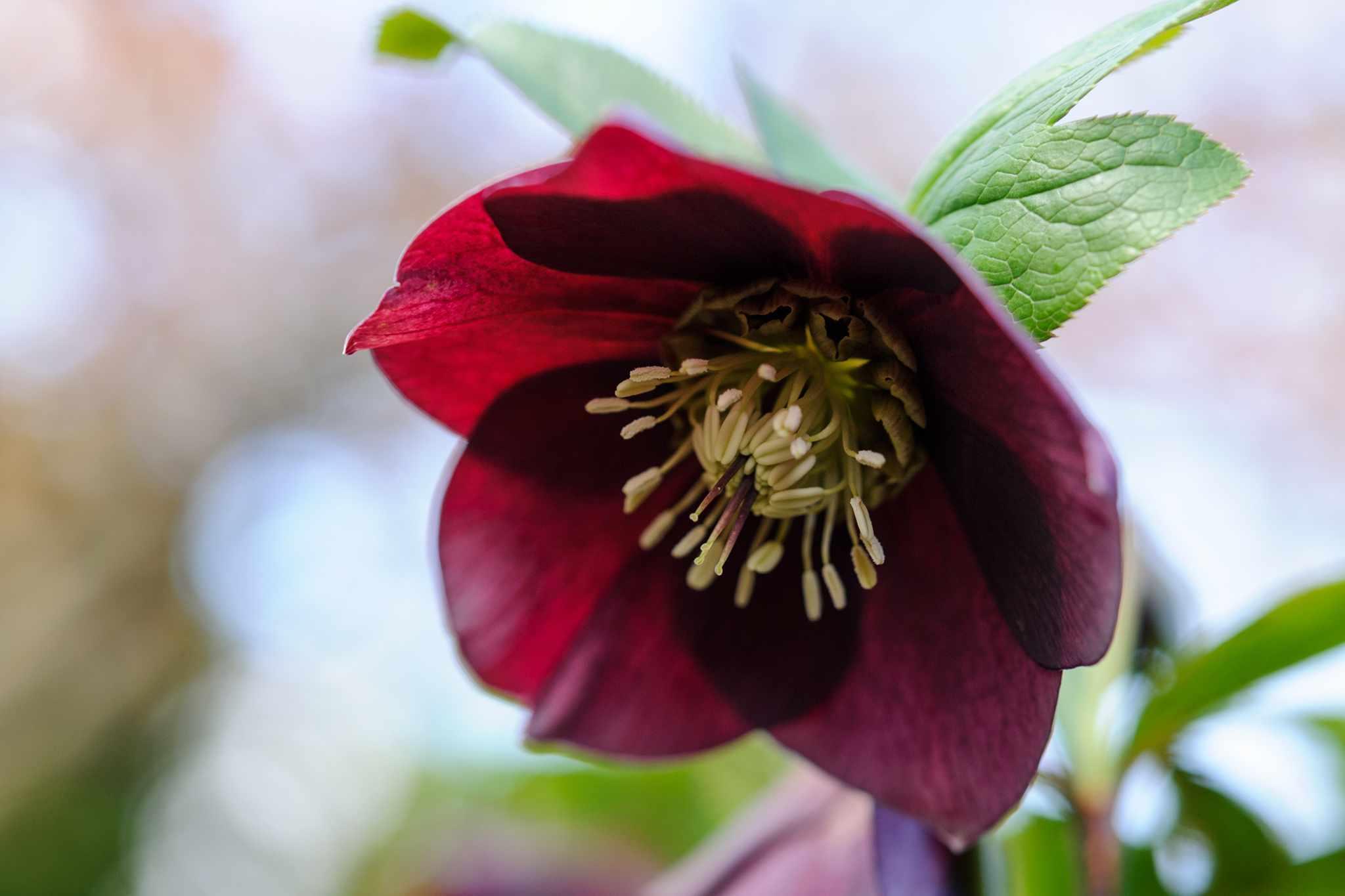 Helleborus 'Garden Red'