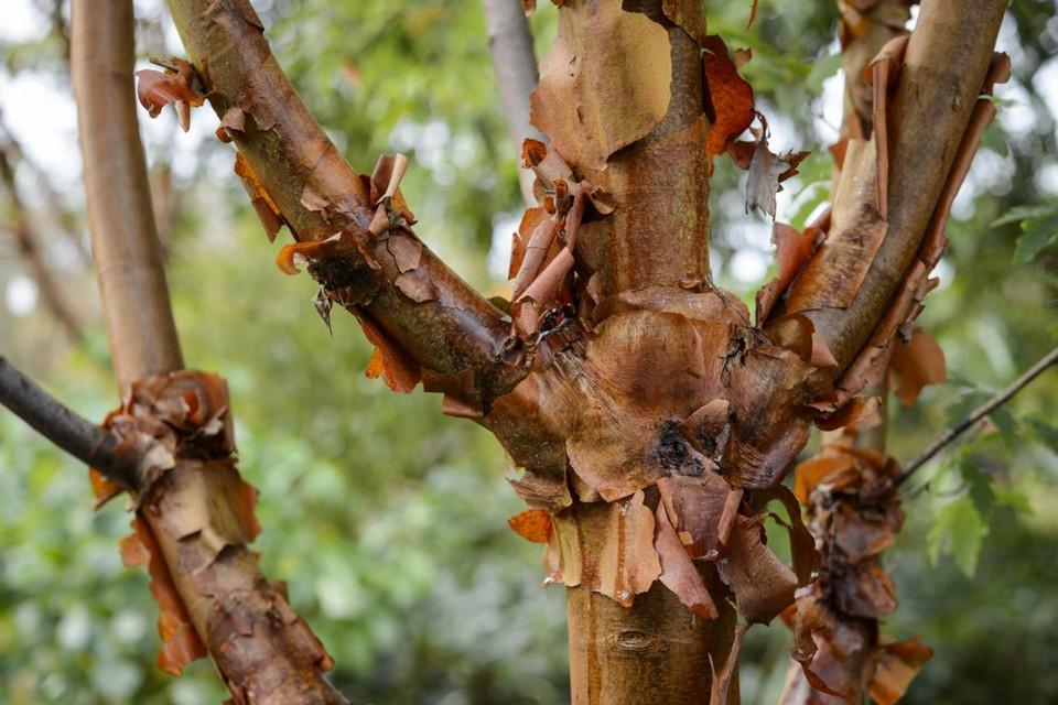 Acer griseum - BBC Gardeners' World Magazine