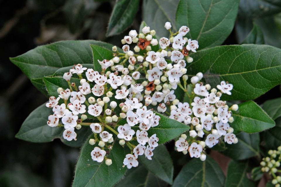 Viburnum Tinus Plant Profile Bbc Gardeners World Magazine
