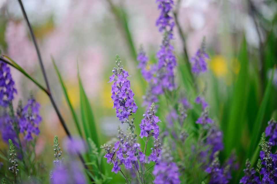 Linaria purpurea - BBC Gardeners' World Magazine