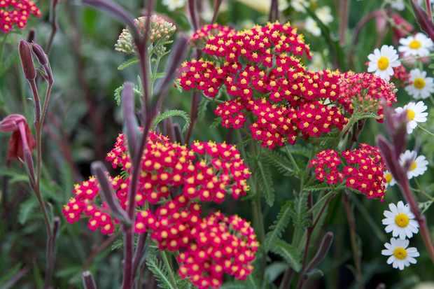 Achillea millefolium 'The Beacon'
