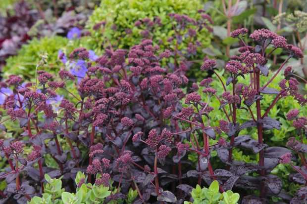 Hylotelephium telephium Atropurpureum Group 'Purple Emperor'