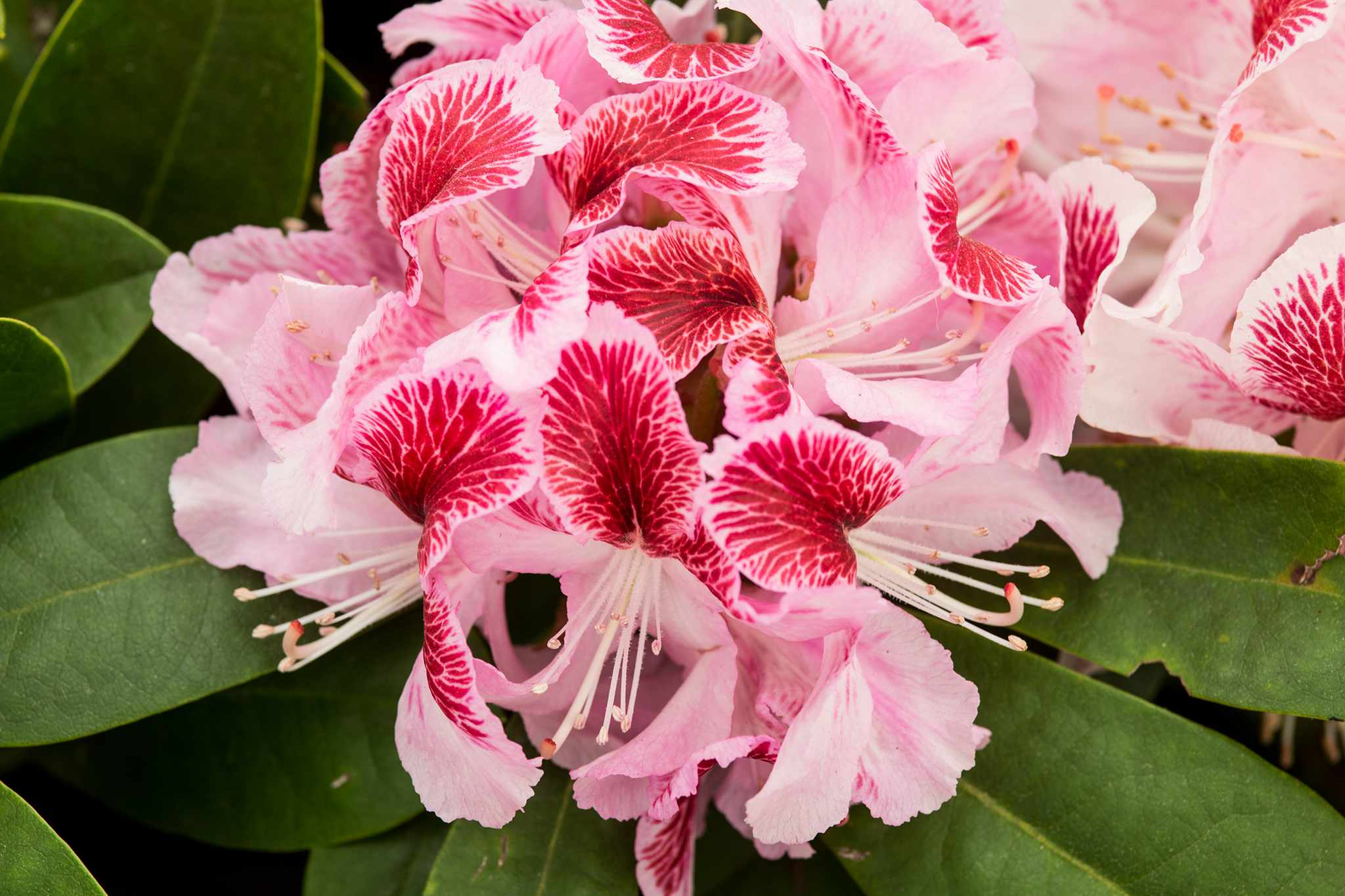 Rhododendron 'Belami'