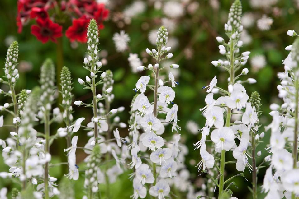 Veronica gentianoides tissington white gardenersworld veronica gentianoides tissington white mightylinksfo