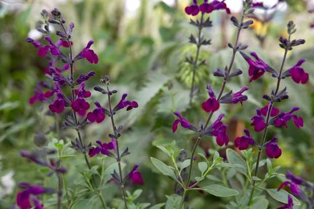 Salvia Violette de Loire