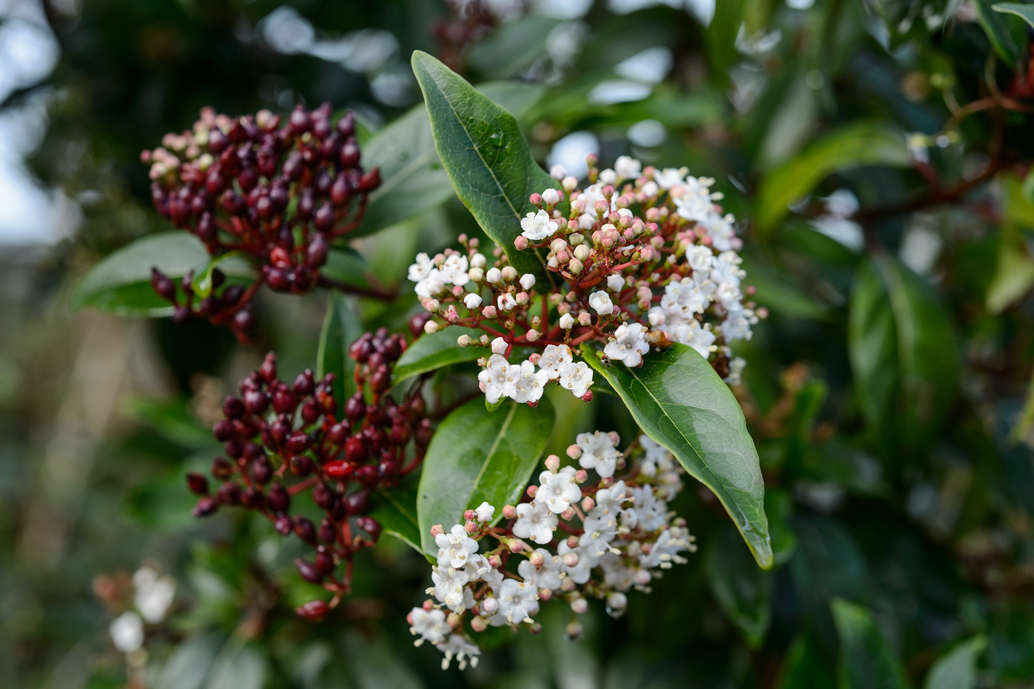 Viburnum tinus 'Spirit', Sir Harold Hillier Garden