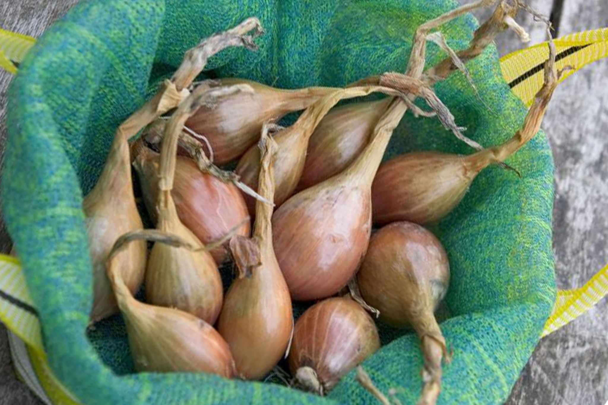 Allium cepa 'Jermor'