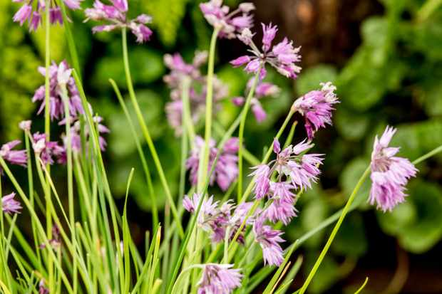 Allium cyaneum