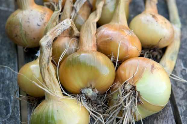 Allium cepa Aggregatum Group 'Golden Gourmet'
