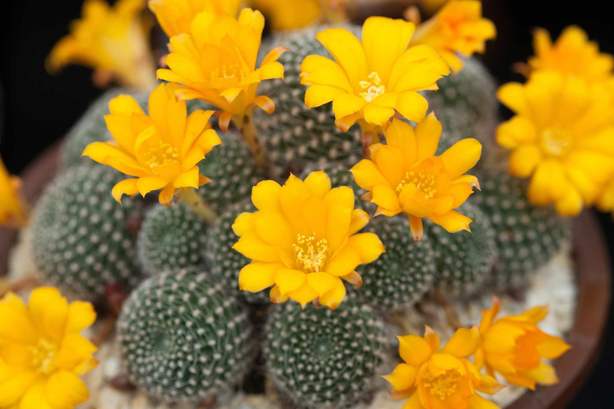 Rebutia krainziana (yellow form)