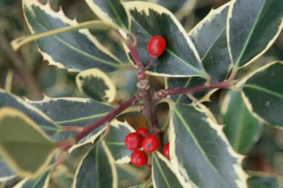Ilex altaclerensis 'Belgica Aurea'