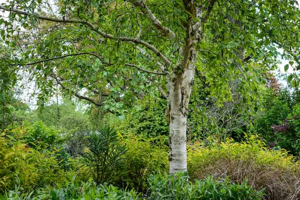 Betula ermanii 'Kwanak Weeping'