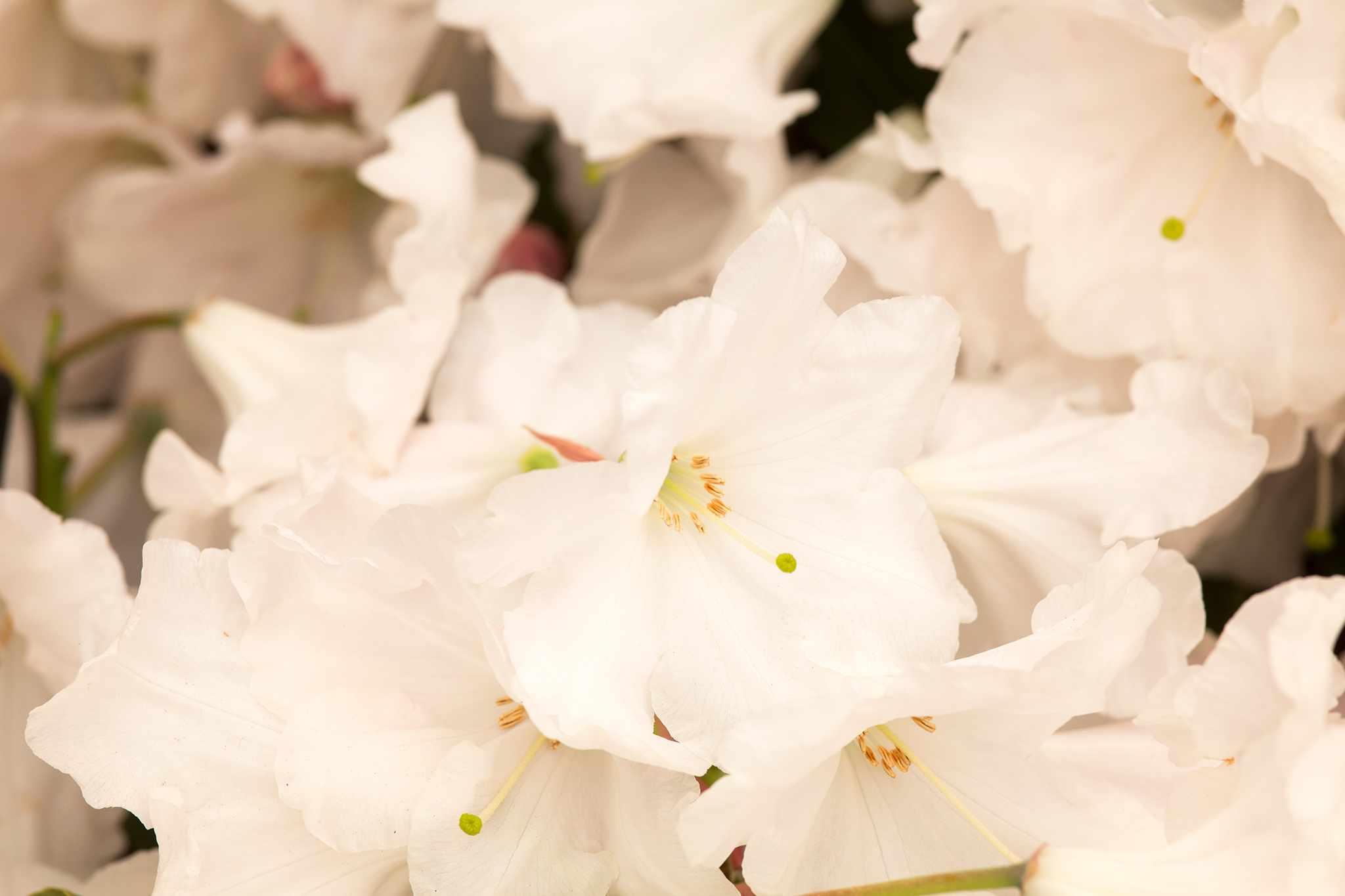 Rhododendron 'Loderi Venus'