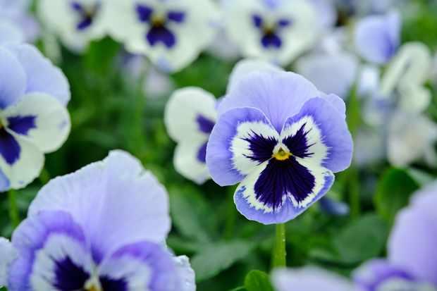 Viola x wittrockiana 'Adonis'