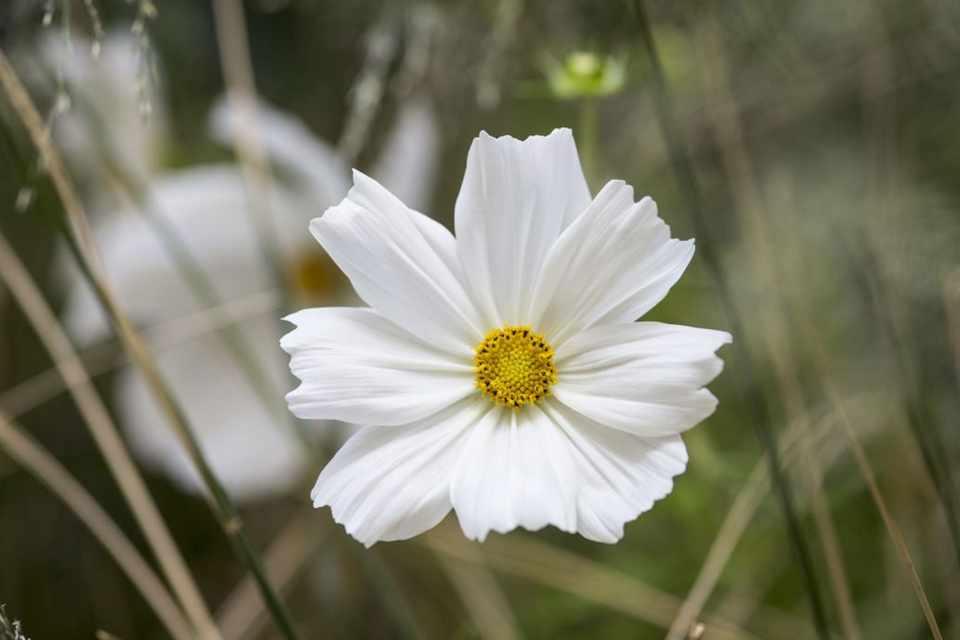 Cosmos bipinnatus sonata white gardenersworld cosmos bipinnatus sonata white mightylinksfo