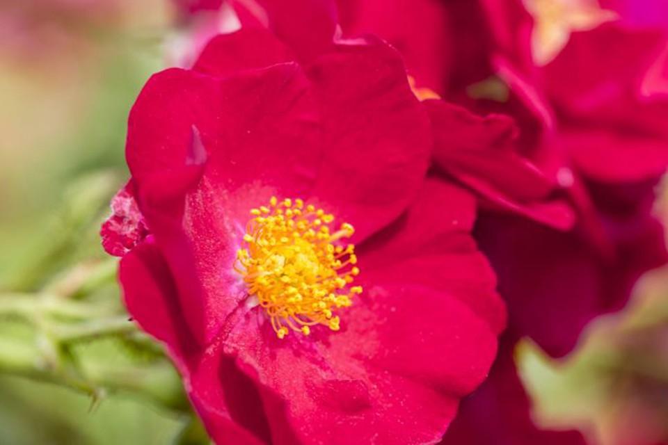 Rosa Flower Carpet Red Bbc Gardeners World Magazine