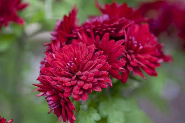 Chrysanthemum 'Ruby Mound'